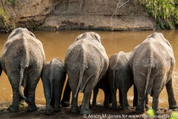 Kenya: No Water No Life Mara River Expedition, Maasai (aka Masai) Mara National Reserve, Mara Conservancy, Mara Triangle, elephant in the Mara River