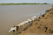 Ethiopia: Lower Omo River Basin, Omo Delta at low water season, Yelokoriyay village of Dassenech people, cattle drinking from the Omo River