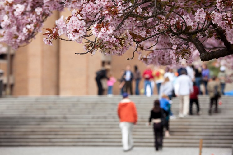 Cherry blossoms near people at the University of Washington