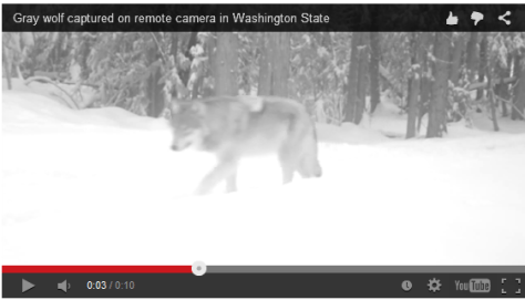 A GRAY WOLF TRAVELS PAST A TRAIL CAM SET IN NORTHEAST WASHINGTON. THOUGH THIS INDIVIDUAL WAS PROBABLY TAKEN OUT DURING THE REMOVAL OF THE WEDGE PACK, THIS CORNER OF THE STATE HOLDS THE MOST PACKS. (WDFW)