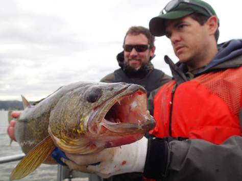 State fisheries biologist Danny Garrett scowls while holding a large male walleye netted on Lake Washington earlier this year. It was one of six he and fellow WDFW bio Aaron Bosworth hauled out of the waters near Enatai Beach, under the I-90 bridge between Mercer Island and Bellevue. (DANNY GARRETT)