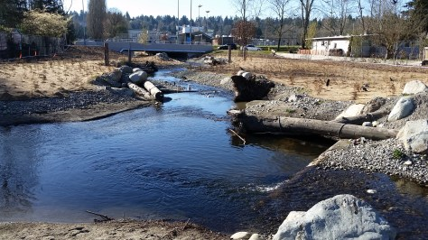 While our rain garden is a small bandage, a much bigger project downstream could be a boon to salmon. Seattle's Meadowbrook Pond combines a settling reservoir to siphon off higher flows, a floodplain and this new, more fish-friendly streambed. (ANDY WALGAMOTT)