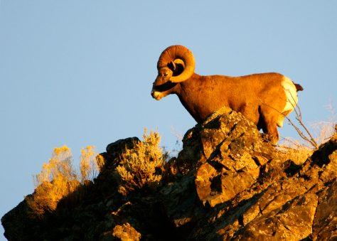 Sheep Pneumonia Kills 11 Okanogan Bighorns; Monitoring Continues