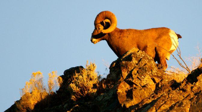Sheep Pneumonia Kills 11 Okanogan Bighorns