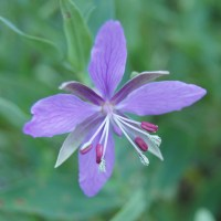 Red Willowherb (Epilobium latifolium)