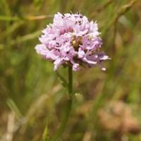Rosy Plectritus (Plectritus congesta)