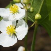 Wapato aka Arum-leaf Arrowhead (Sagittaria cuneata)