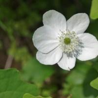 Windflower (Anemone deltoidea)