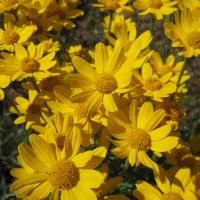 Woolly Sunflower aka Oregon Sunshine (Eriophyllum lanatum)
