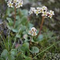 Western Saxifrage (Saxifraga occidentalis)