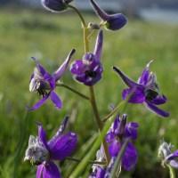 Upland Larkspur (Delphinium nuttallianum)
