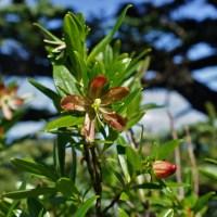 Copperbush (Elliottia pyroliflora)