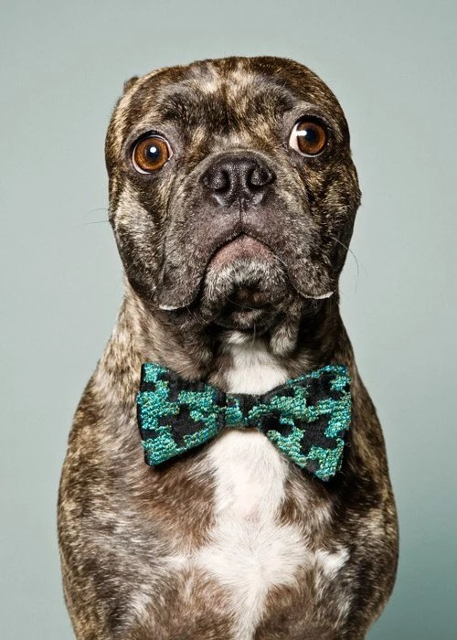Murdoch - Brindle Pug Boston Terrier Mix wearing vintage bow tie