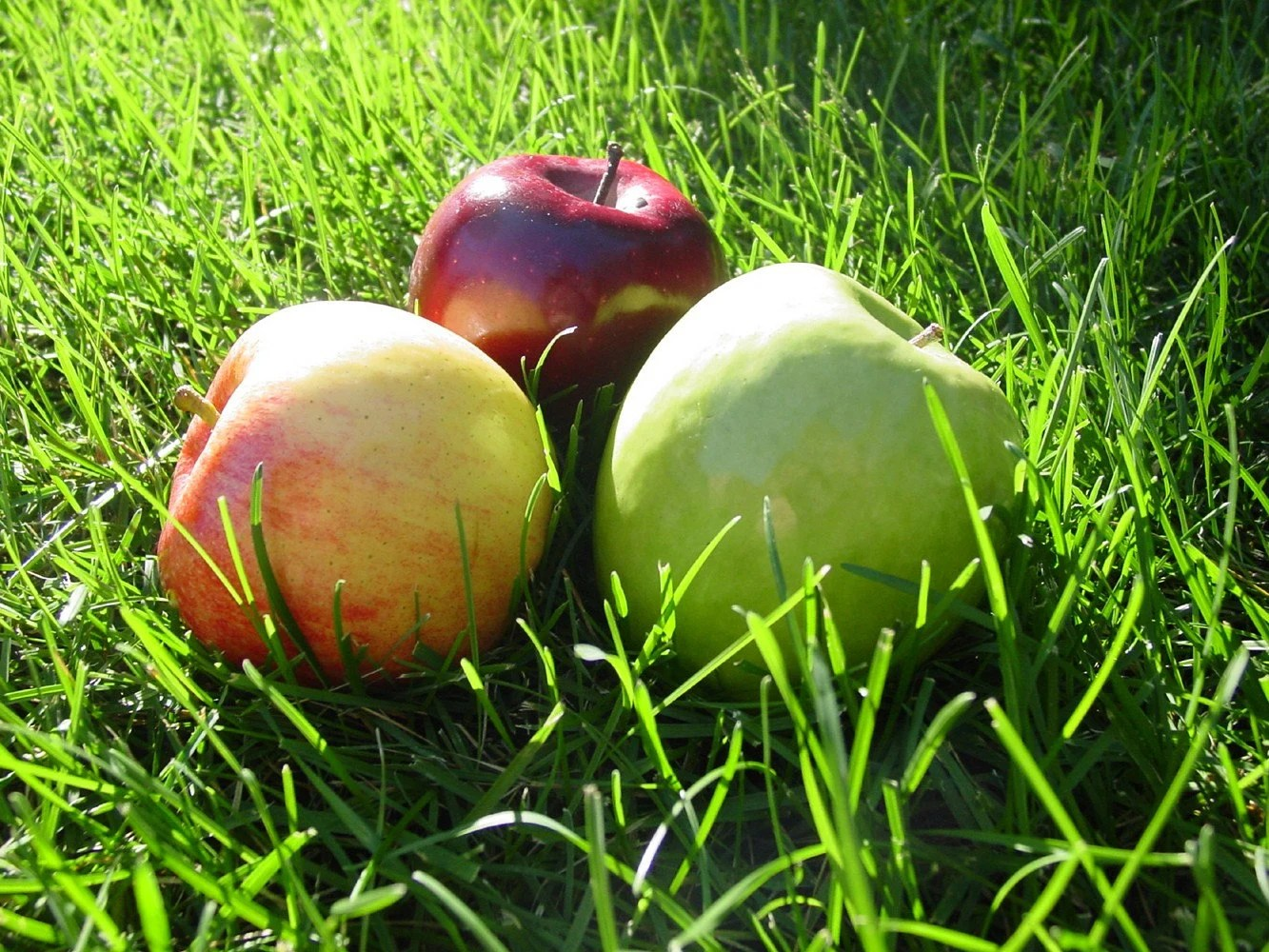Apples 4x6 original photograph