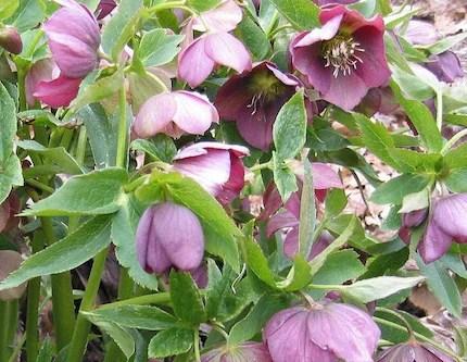 Heirloom Helleborus orientalis -- Hellebore -- Lenten Rose -- 25 Seeds
