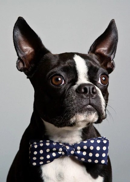 Lincoln - Boston Terrier wearing vintage bow tie