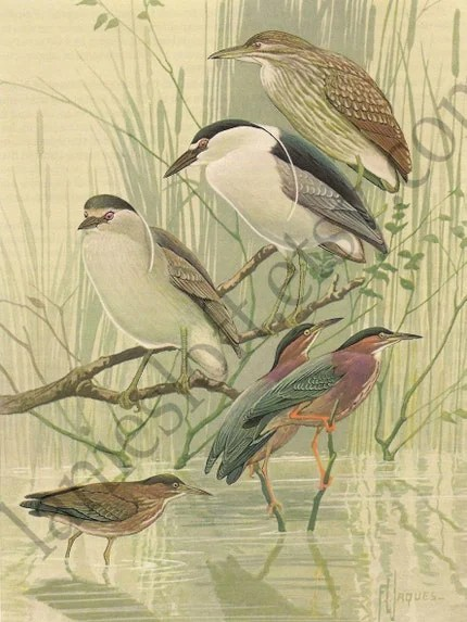 1930s Color Plate of the Green Heron and the Black-Crowned Night Heron.