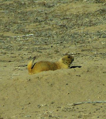 rma-prairie-dog