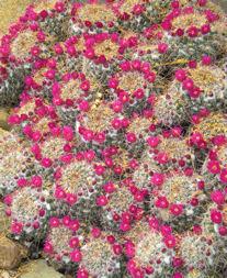 asdm-little-red-cactus