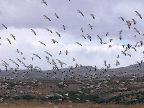 bda-snow-geese-in-flight
