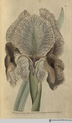 """This species, by far the most magnificent of the Iris tribe, is a native of Persia, from a chief city of which it takes the name of Susiana: Linnaeus informs us, that it was imported into Holland from Constantinople in 1573."" (Chalcedonian Iris, plate 91, volume 3, 1792)"