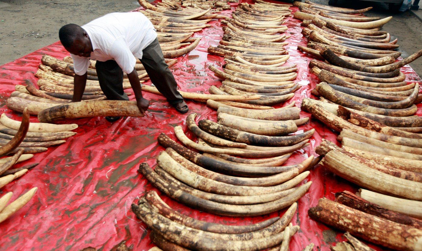 A plainclothes police officer arranges seized elephant tusks to be inspected at Makupa police station in Mombasa June 5, 2014. Kenyan authorities seized 228 whole elephant tusks and 74 others in pieces as they were being packed for export in the port city of Mombasa, police and wildlife officials said.  REUTERS/Joseph Okanga (KENYA - Tags: ANIMALS CRIME LAW) - RTR3SBPA