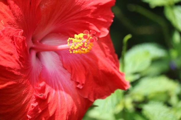 le rinçage au jus e l'hibiscus sur les cheveux crépus
