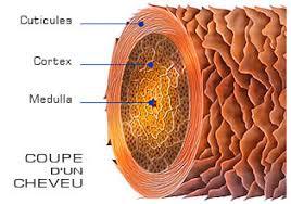 le cheveux est constitué de la moelle, du cortex et de la cuticule