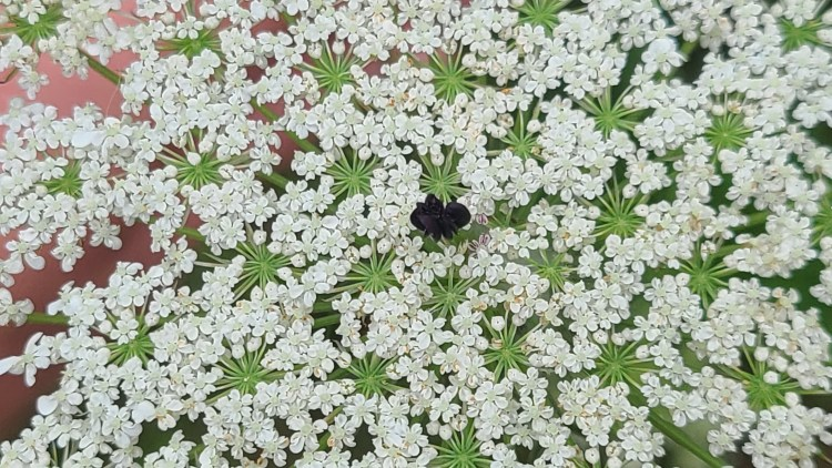 Queen Anne's Lace Flower: the black center was thought to represent a drop of Queen Anne's blood.