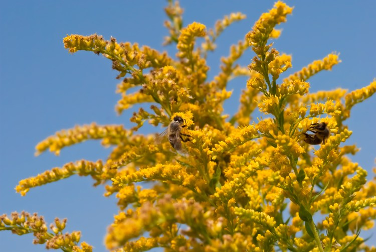 Bees on Goldenrod flowers