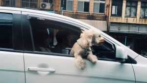 A dog sticking out of a car window whilst the car is in transit