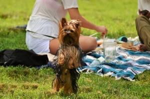 Little Yorkie enjoying in pet friendly parks in NYC.