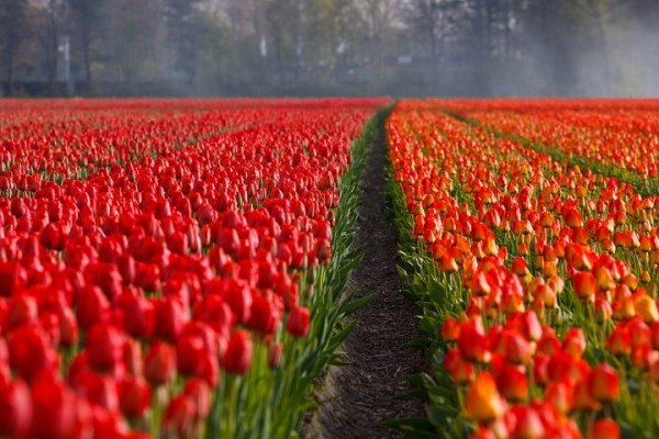 a field of beautiful red tulips with a little dirt path going through it.