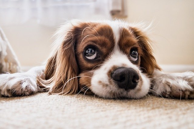 Cute brown and white dog with big eyes looking upwards.