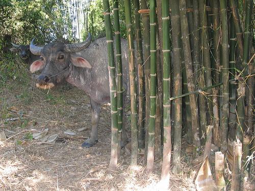 laos-buffaloes-1-photo-by-h-neu.jpg