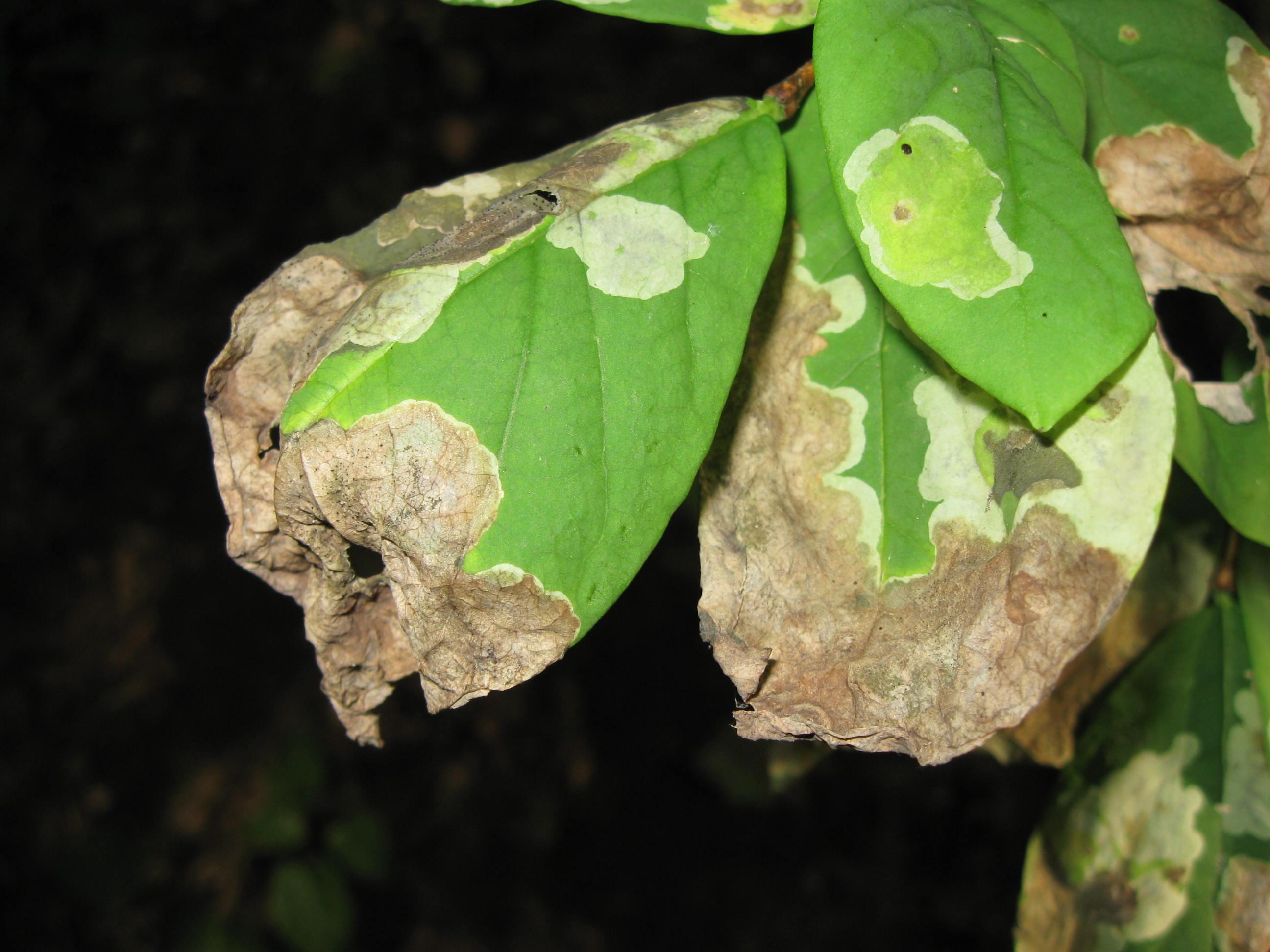 Dirca leaves