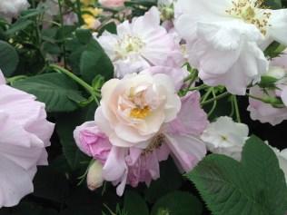 Celsiana Rose