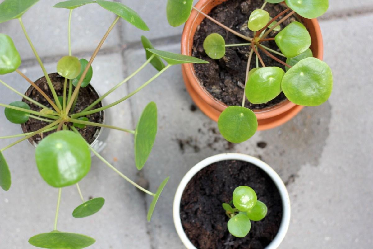 VIDEO: Sådan tager du stiklinger fra deres Pilea-mor + plantetips og tricks
