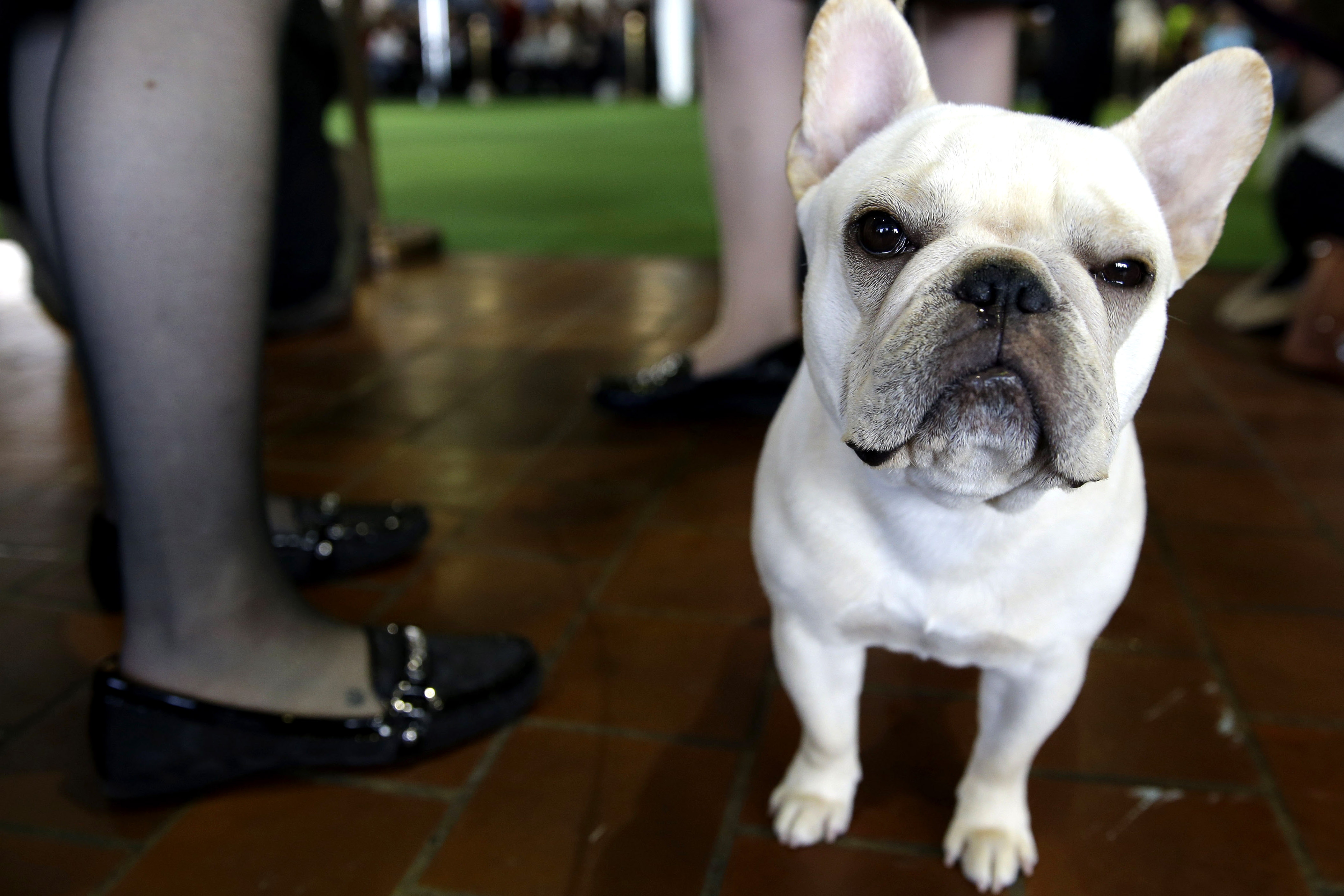 French bulldogs are NYC's most popular dog