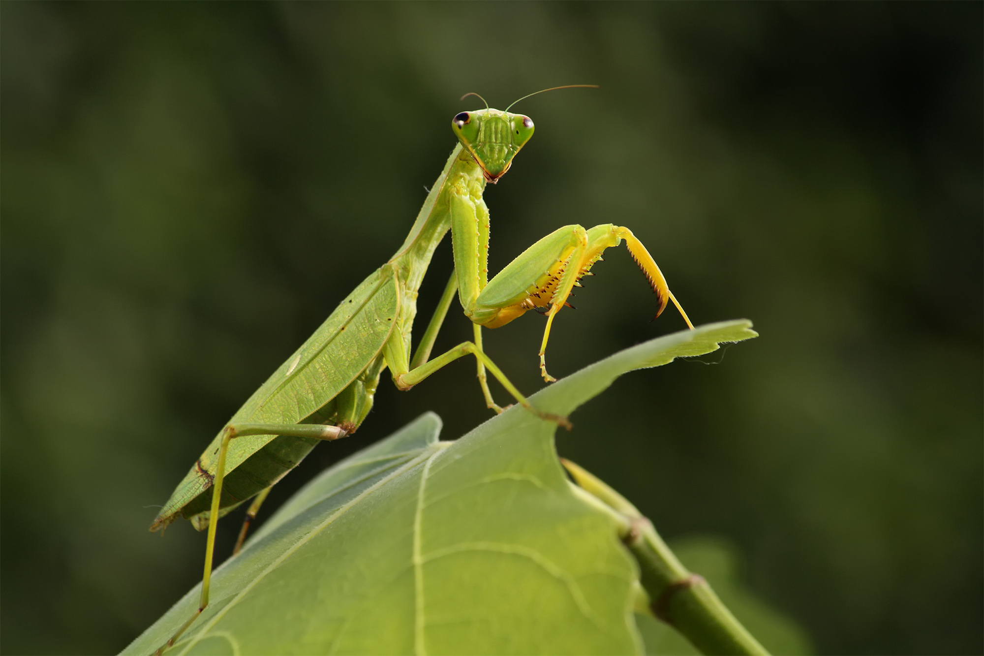 More Than 100 Praying Mantises Hatch In Woman S Christmas Tree