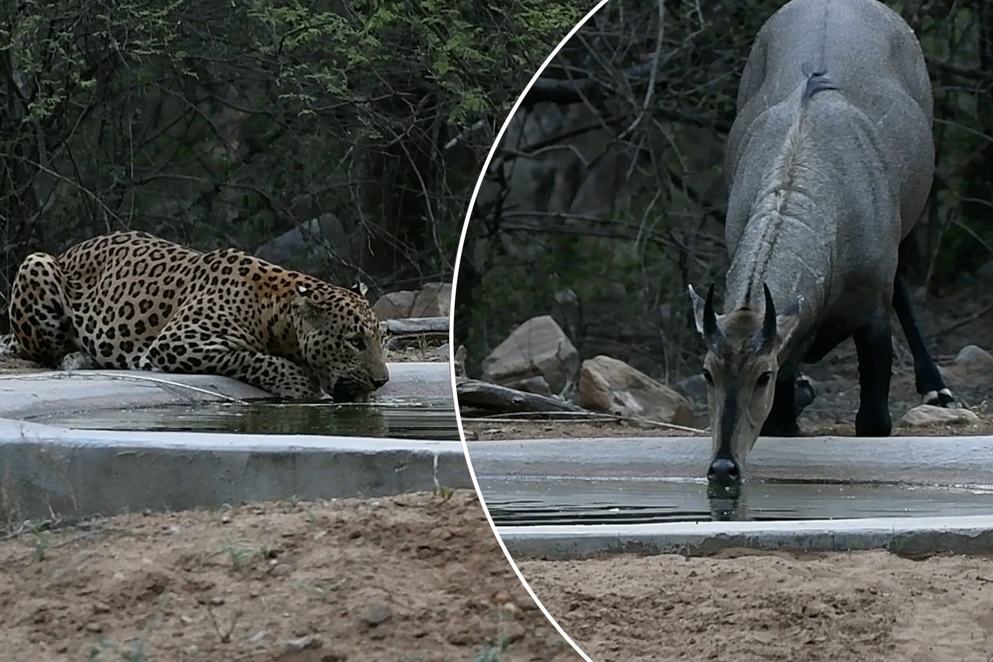 Thirsty leopard shares a drink with its prey in this rare moment