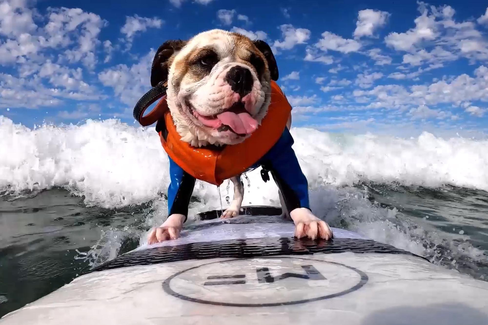 Surfing bulldog hangs ten in San Diego