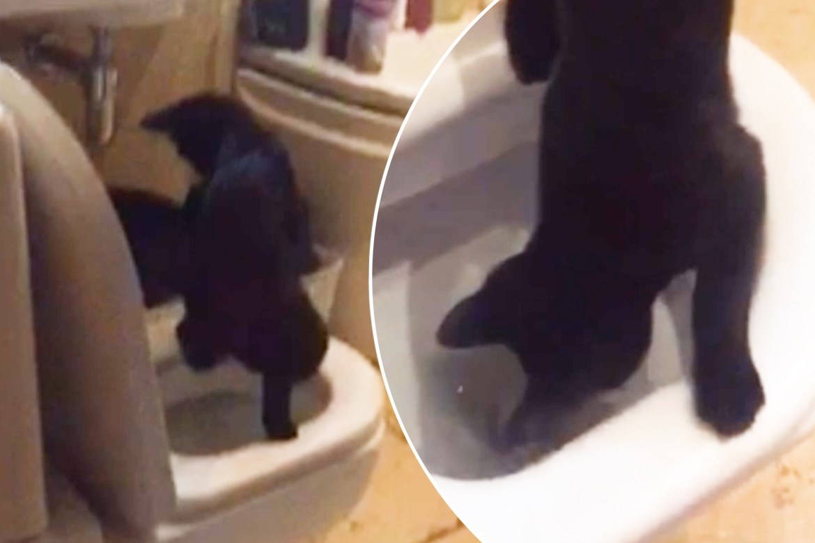 Clever cat uses toilet like a person 1