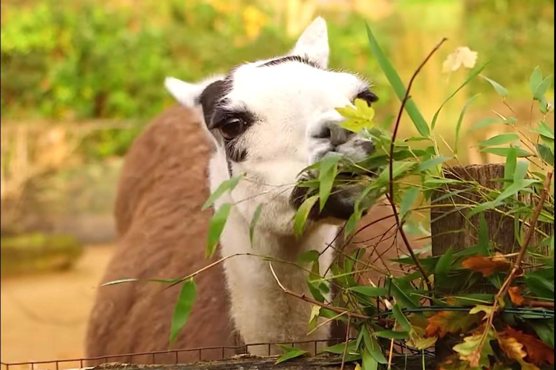 'Naughty' llama promptly eats zoo's handcrafted Christmas wreaths 1