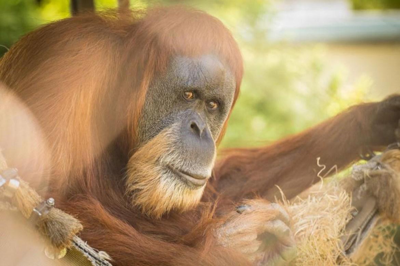 Oregon Zoo says goodbye to Inji, 61, the 'world's oldest' orangutan 1
