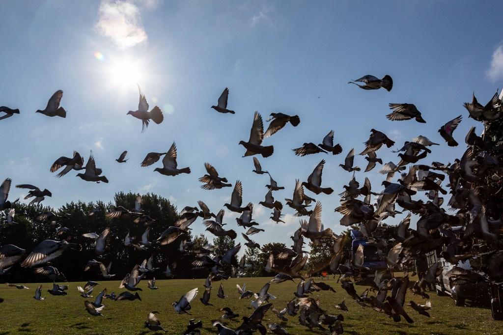 'Worst day ever' in pigeon racing history as 5,000 birds vanish