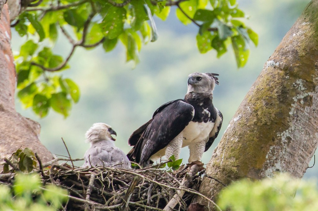 This June 2013 photo provided by Carlos Navarro shows a female harpy eagle and its young in a nest in Darién Province, Panama. Harpy eagles were once widespread throughout southern Mexico and Central and South America, but deforestation has dramatically shrunk their range.