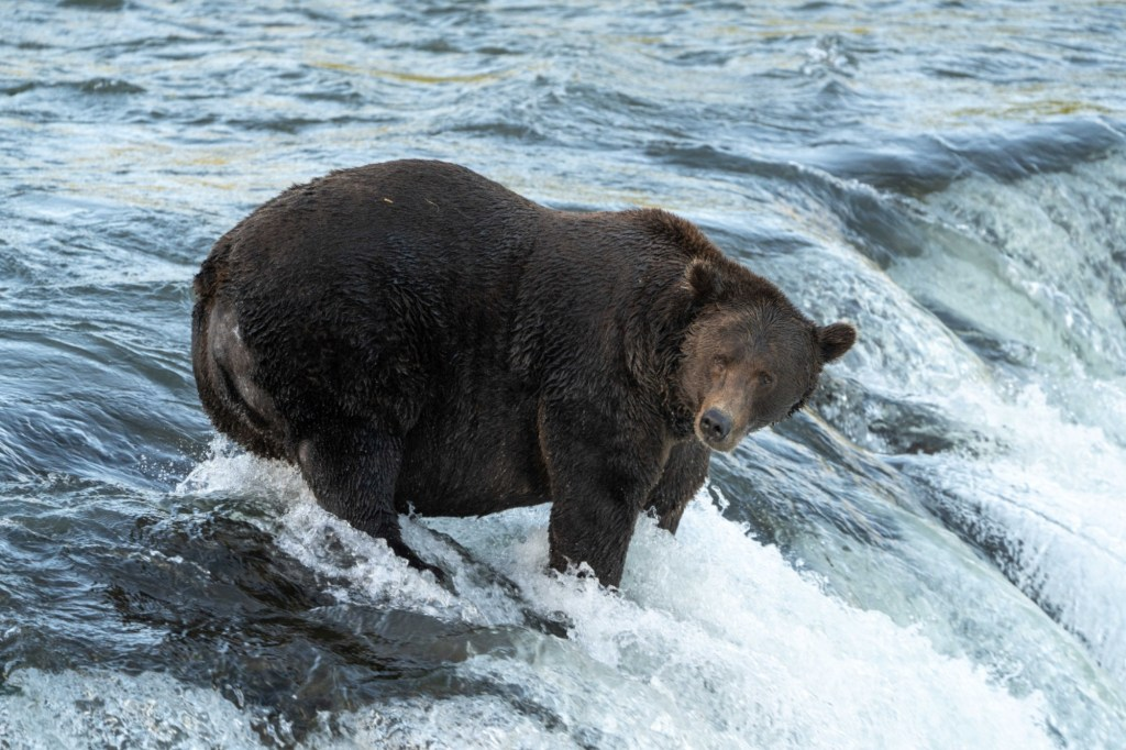 Brownbear151stands in a river hunting for salmon to fatten up before hibernation at Katmai National Park and Preserve in Alaska September 13, 2021.