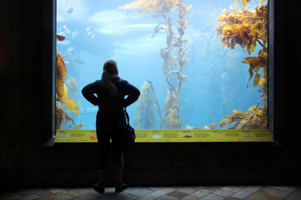 visitor checks out the kelp forest exhibit at the Monterey Bay Aquarium in Monterey, California, U.S. May 14, 2021.