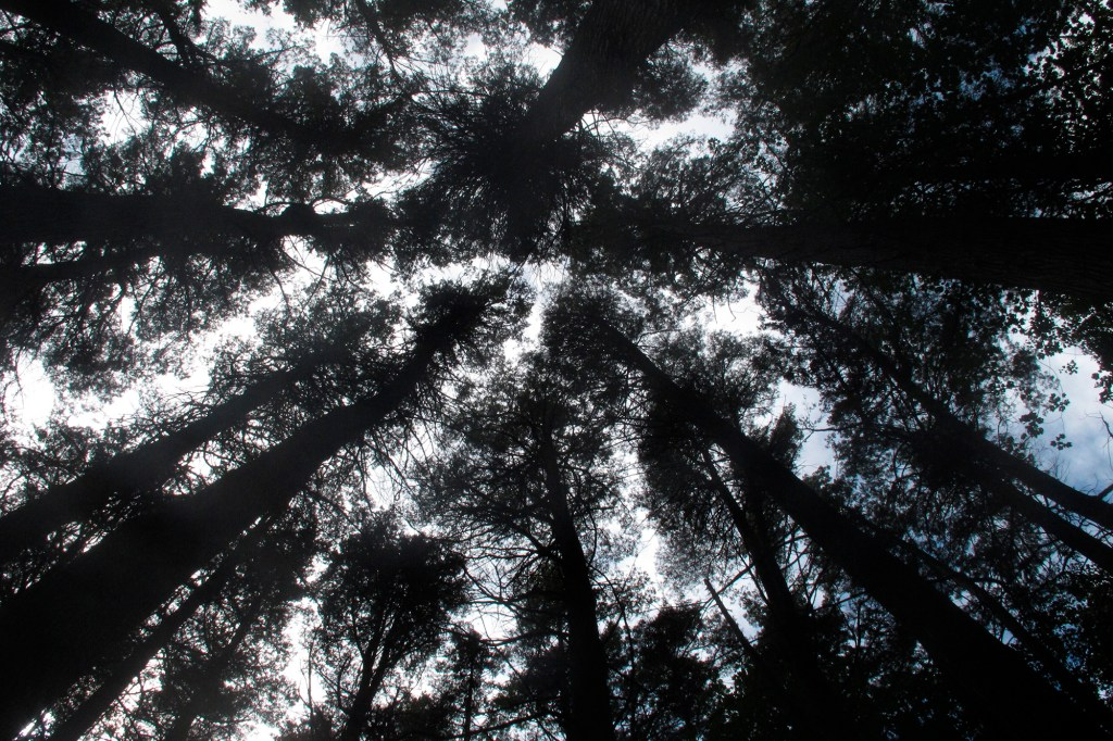 This Sept. 22, 2021 photo shows mature Atlantic White Cedar trees in Brendan Byrne State Forest in Woodland Township, N.J. New Jersey officials plan to restore 10,000 acres of cedars in what they say is the largest such effort in the U.S.